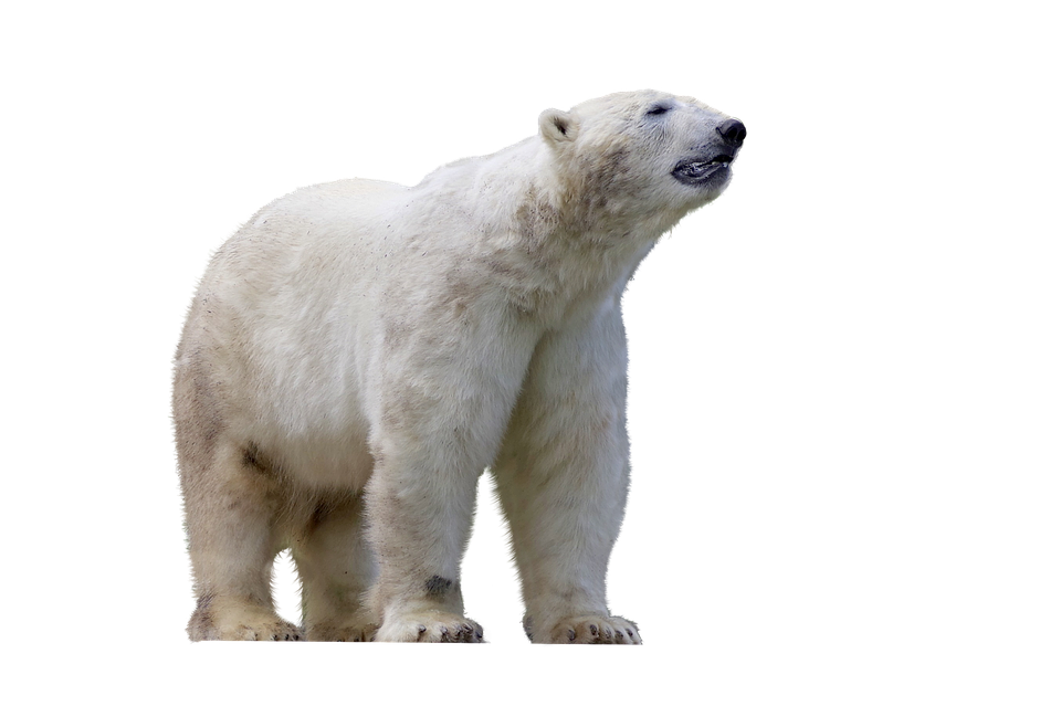 polar bear predator mammal photo pixabay #29850