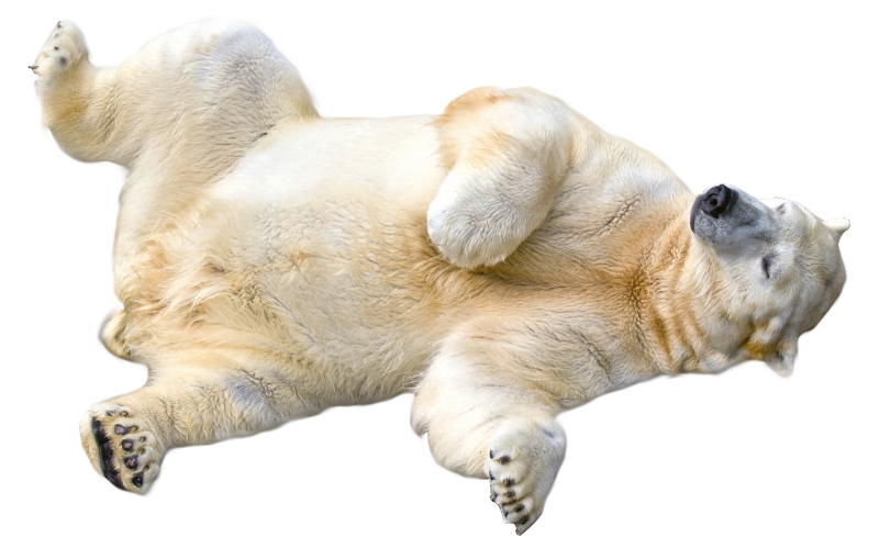 polar bear rolling over transparent image #29781