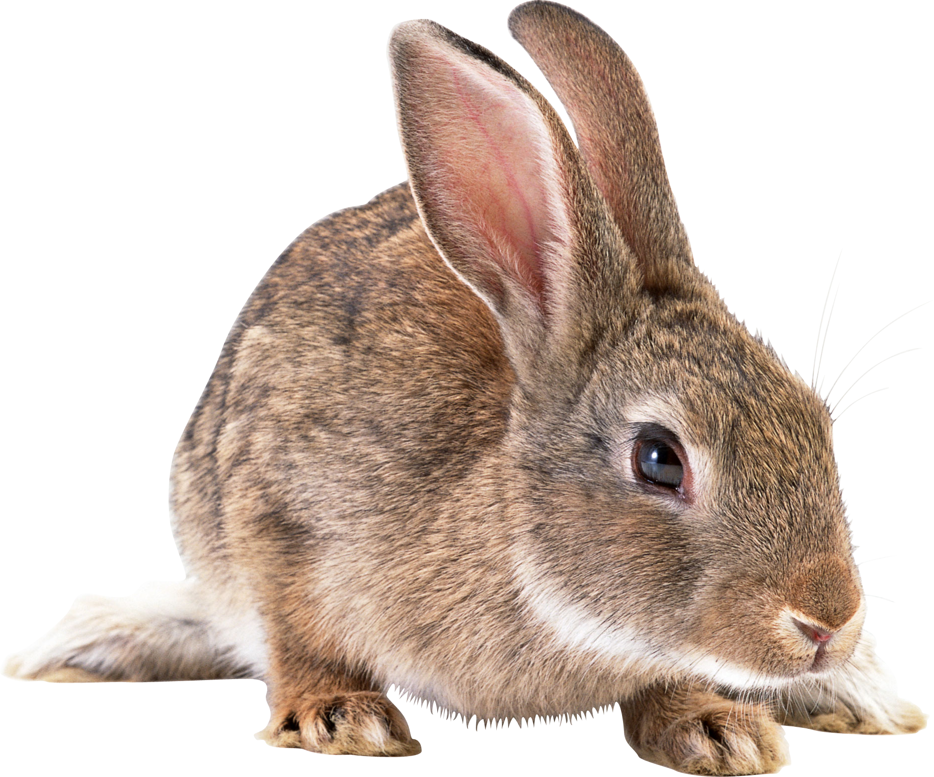 rabbit png images png rabbit pictures download #16921