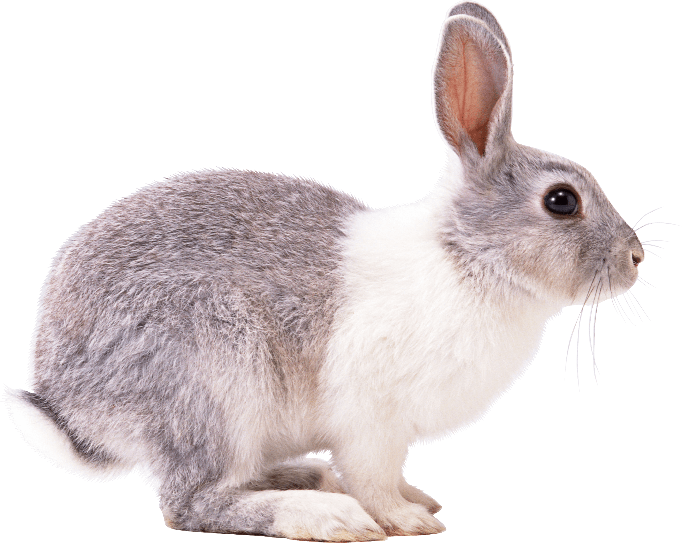rabbit right transparent png stickpng #16910