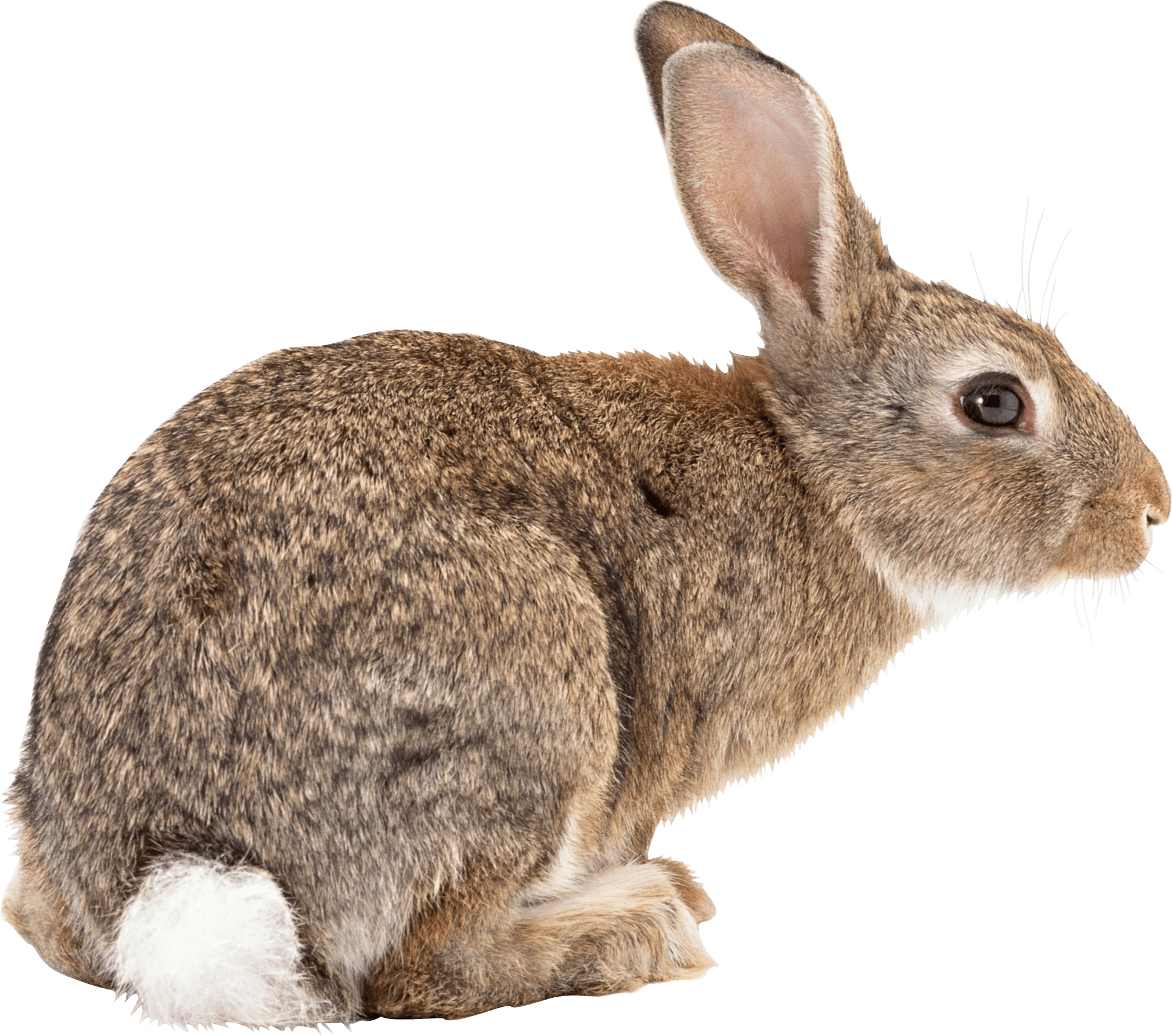 rabbit transparent png pictures icons and png #16920