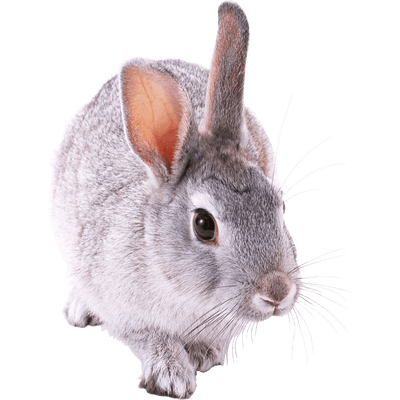 small cute rabbit transparent png stickpng #16965