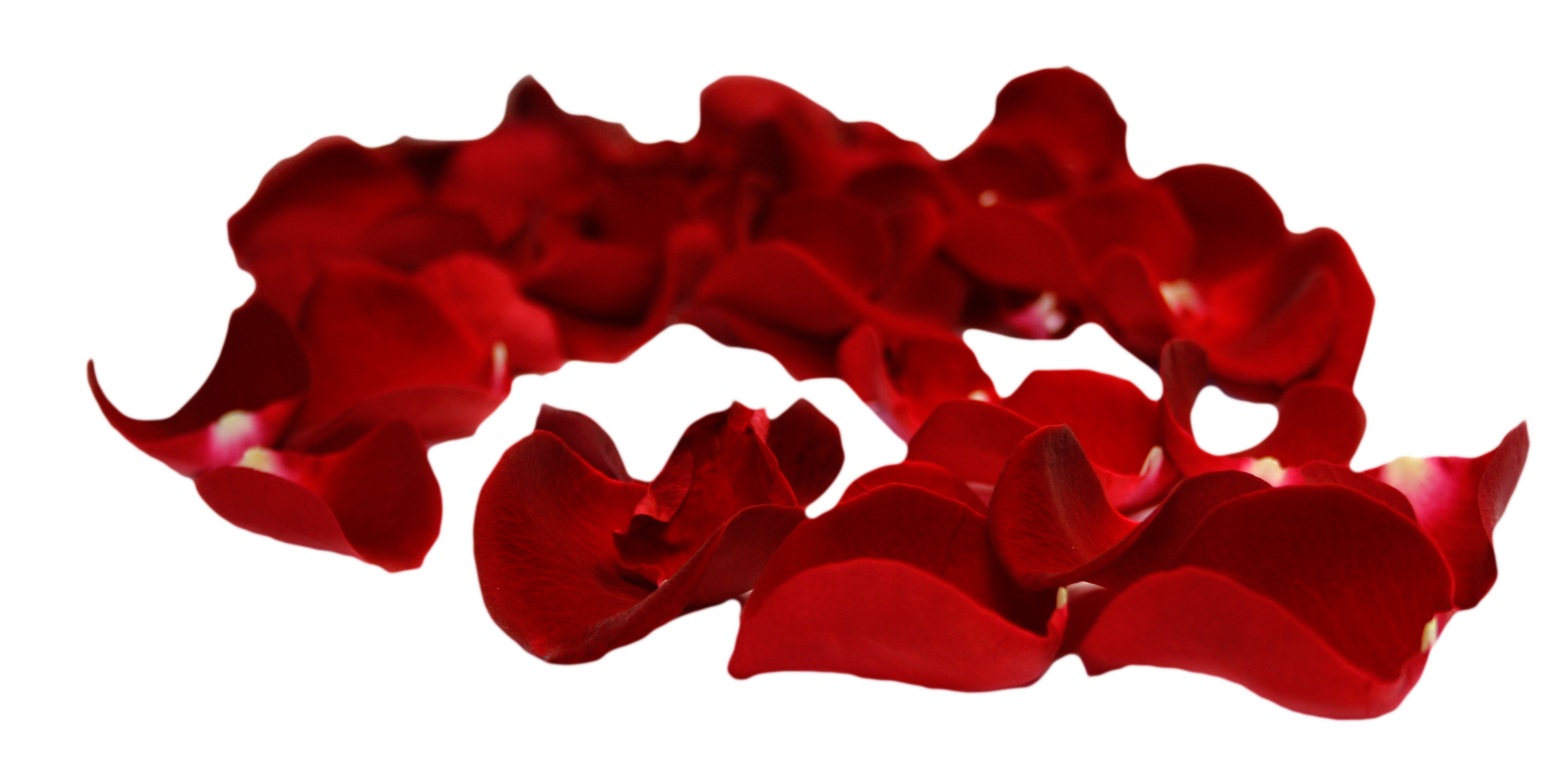 rose petals psd png with transparent background #30962