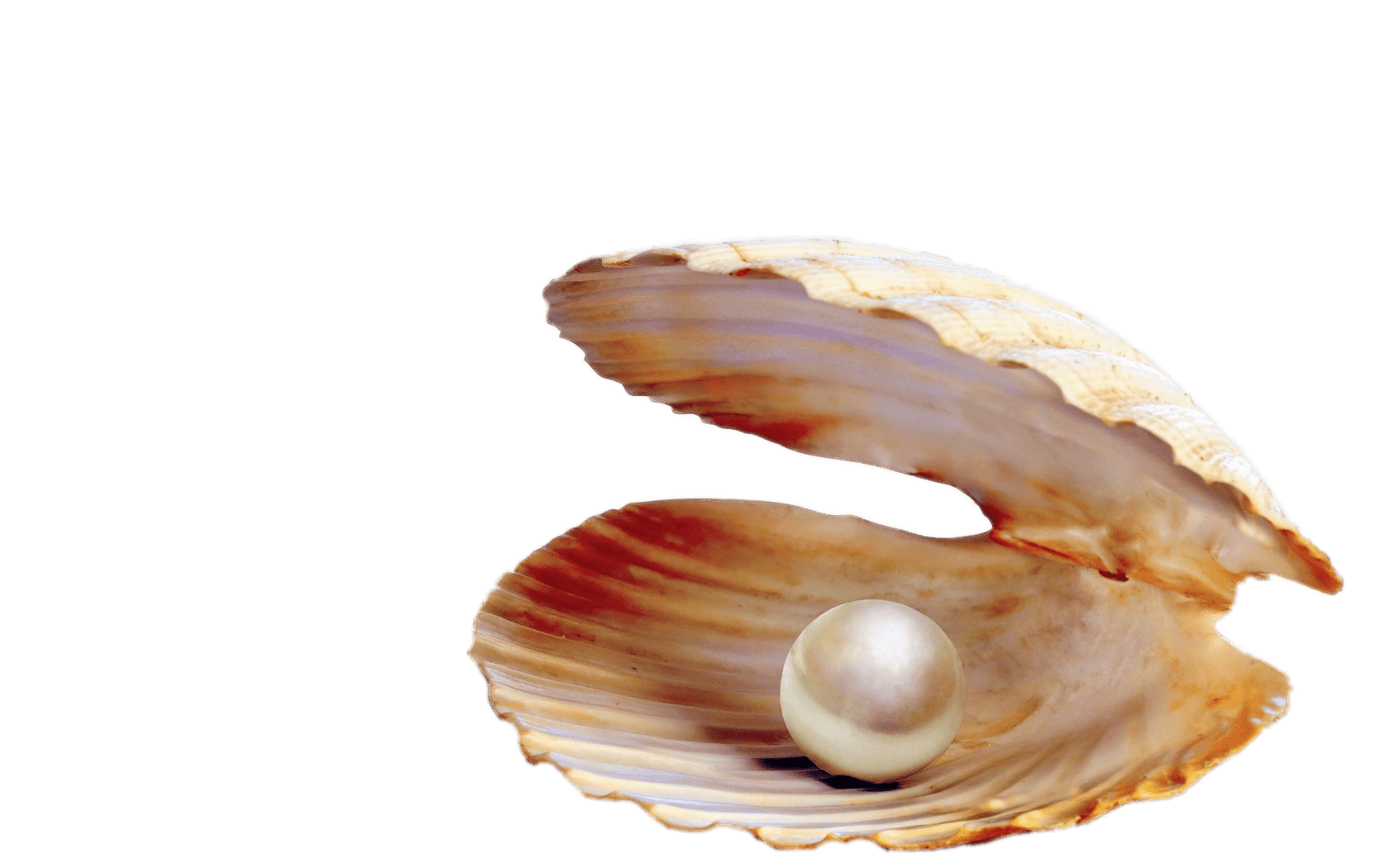 seashell, pearl clipart shell sea pearl for download and use #26421