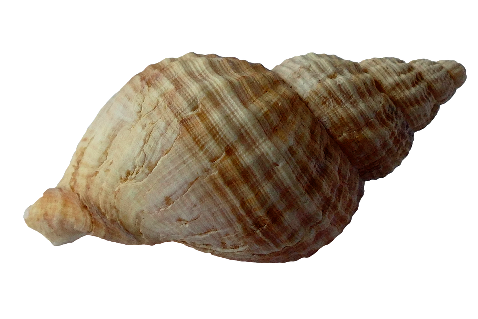 seashell, sea shell clam photo pixabay #26410