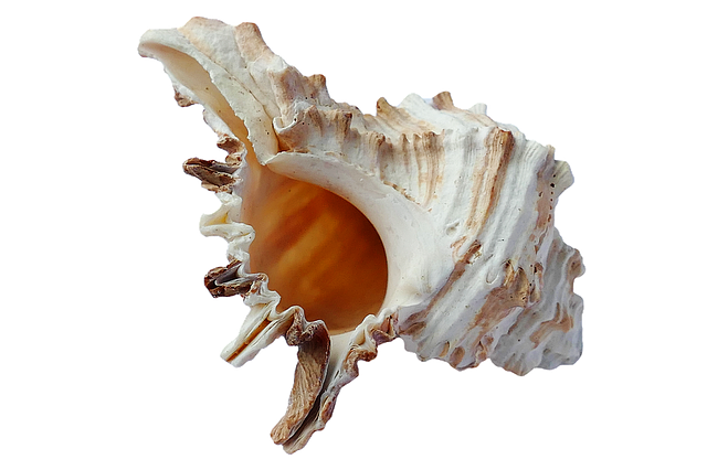 seashell, sea shells ocean photo pixabay #26428