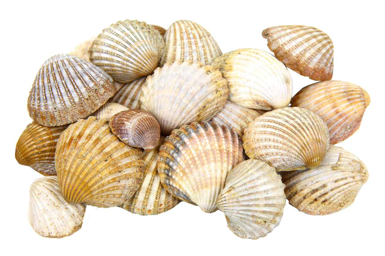 seashell, sea shells transparent image seaside png graphics #26436