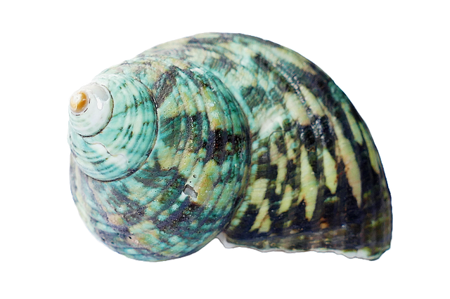 seashell shells sea photo pixabay #26414