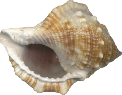 vector seashell download png icons and #26408