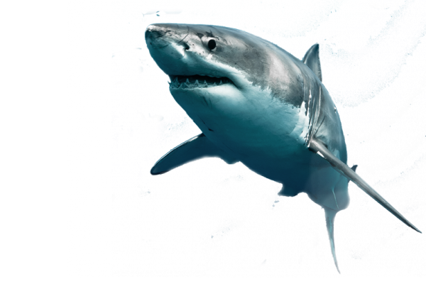 lamnidae shark, great white shark, animal #8528