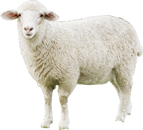 download sheep png transparent image and clipart #20275