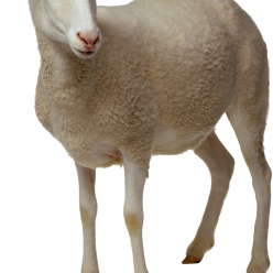 sheep, starfish png transparent images png only #20259