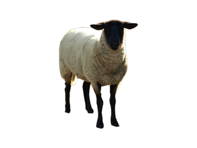 sheep transparent png pictures icons and png #20271