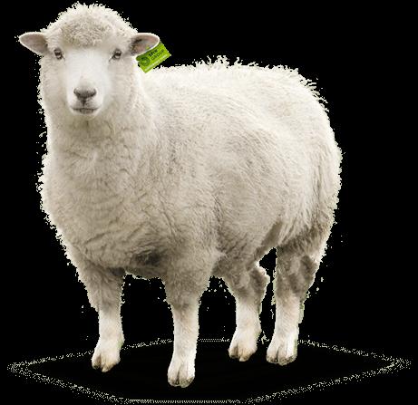 Sheep PNG Cartoon, Cute Sheep, Indian Sheep Png Images ...