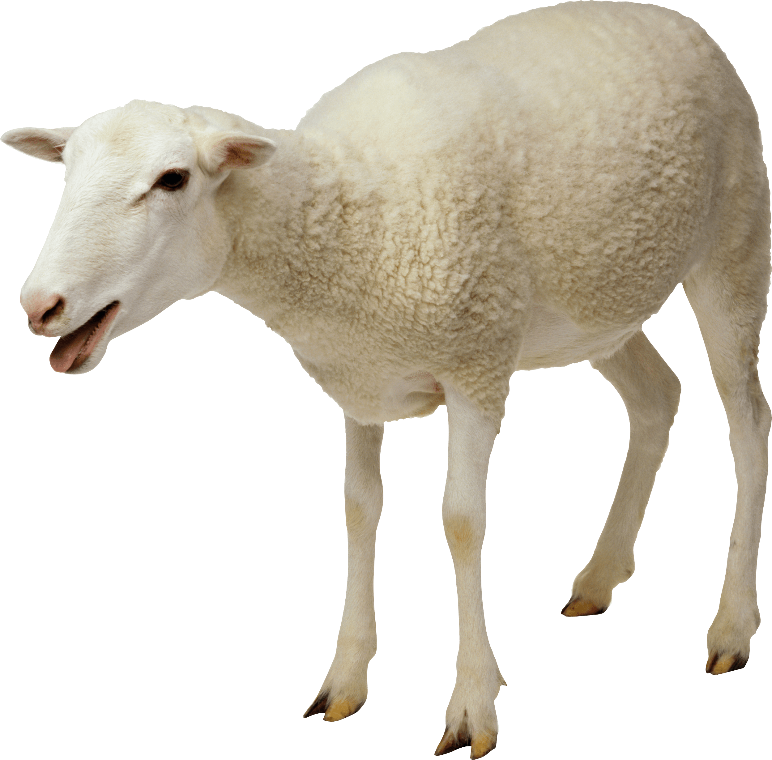 white sheep transparent png stickpng #20333