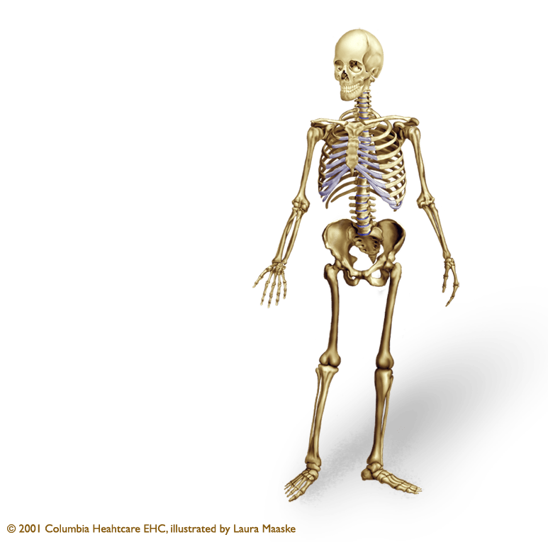skeleton illustrations archives medical illustrations #24758