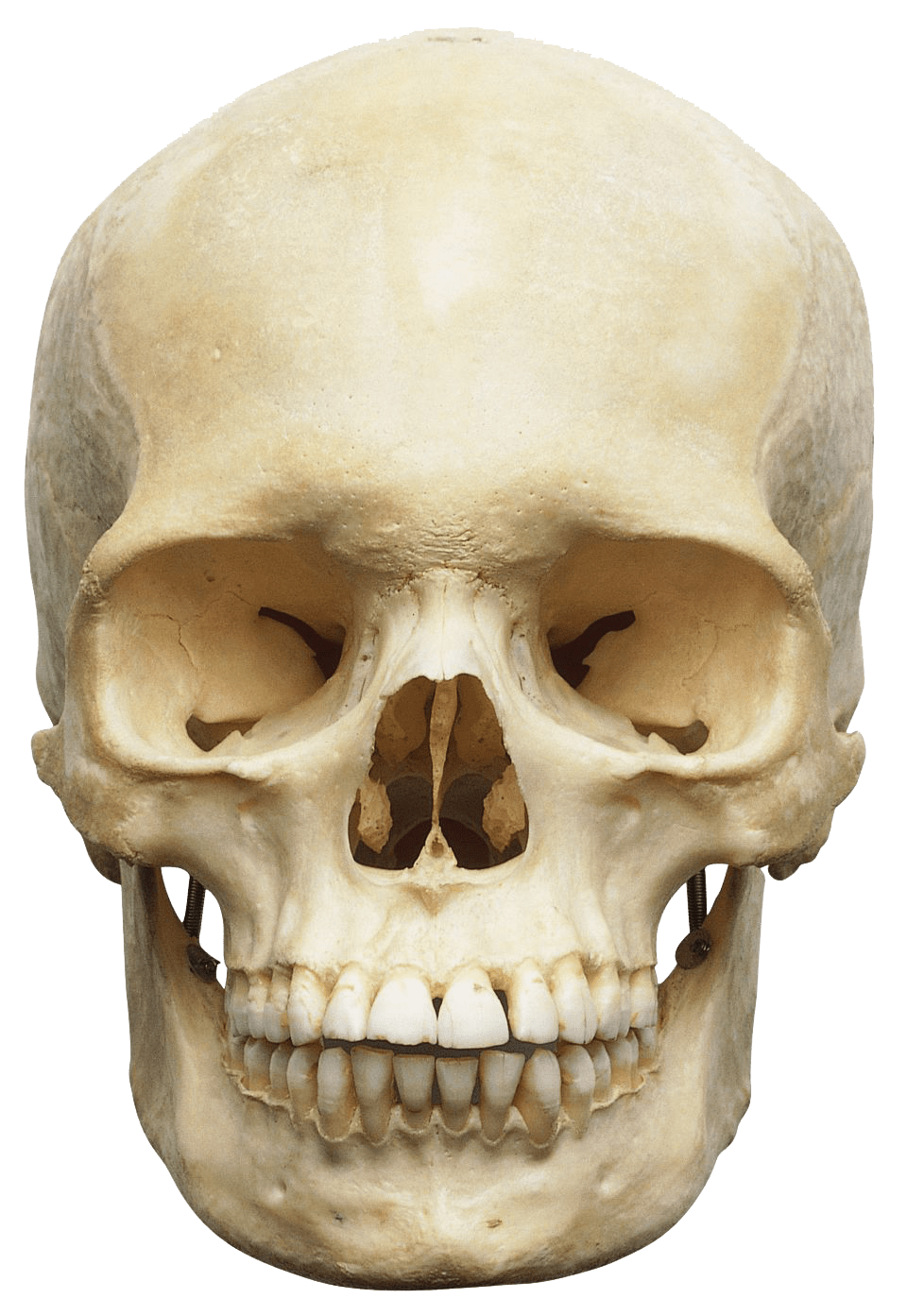human skull white transparent png stickpng #13749