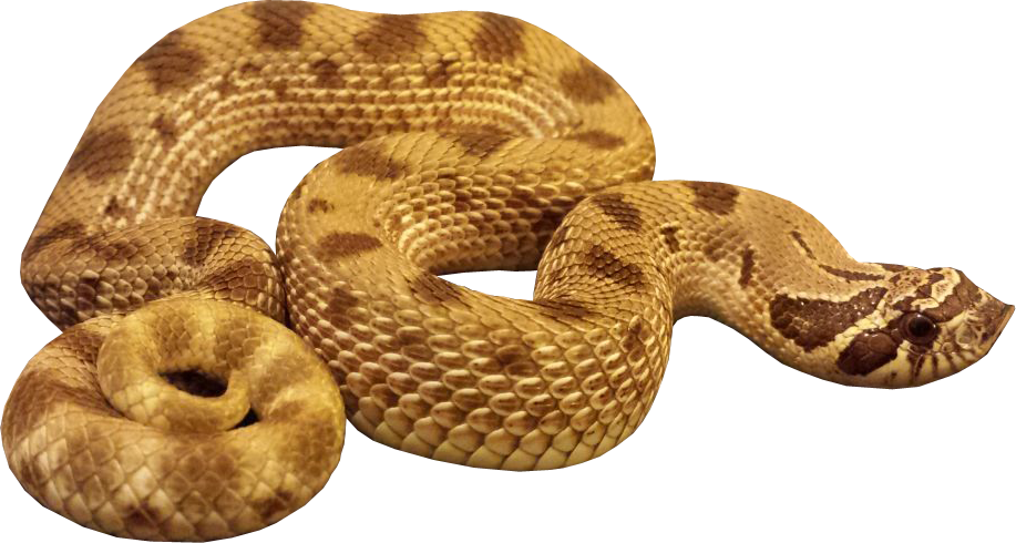 hognose anaconda snake transparent image #16392
