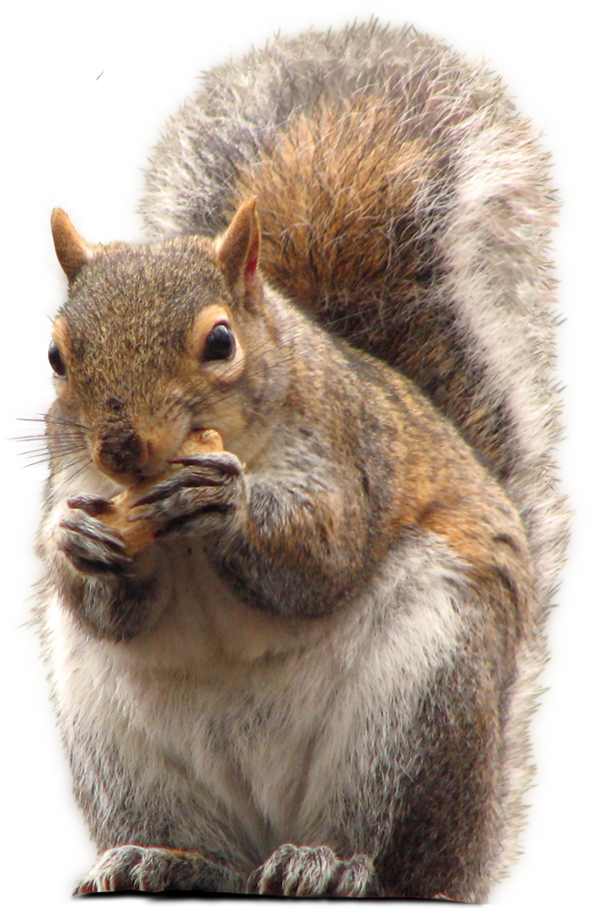 download squirrel png transparent images images #36932