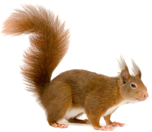 download squirrel png transparent images images #36973
