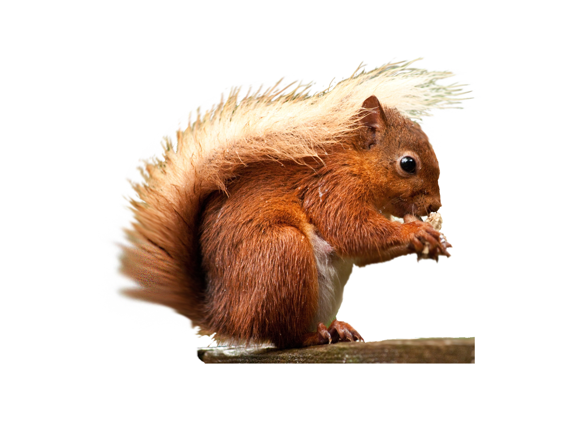 download squirrel png transparent images images #37001
