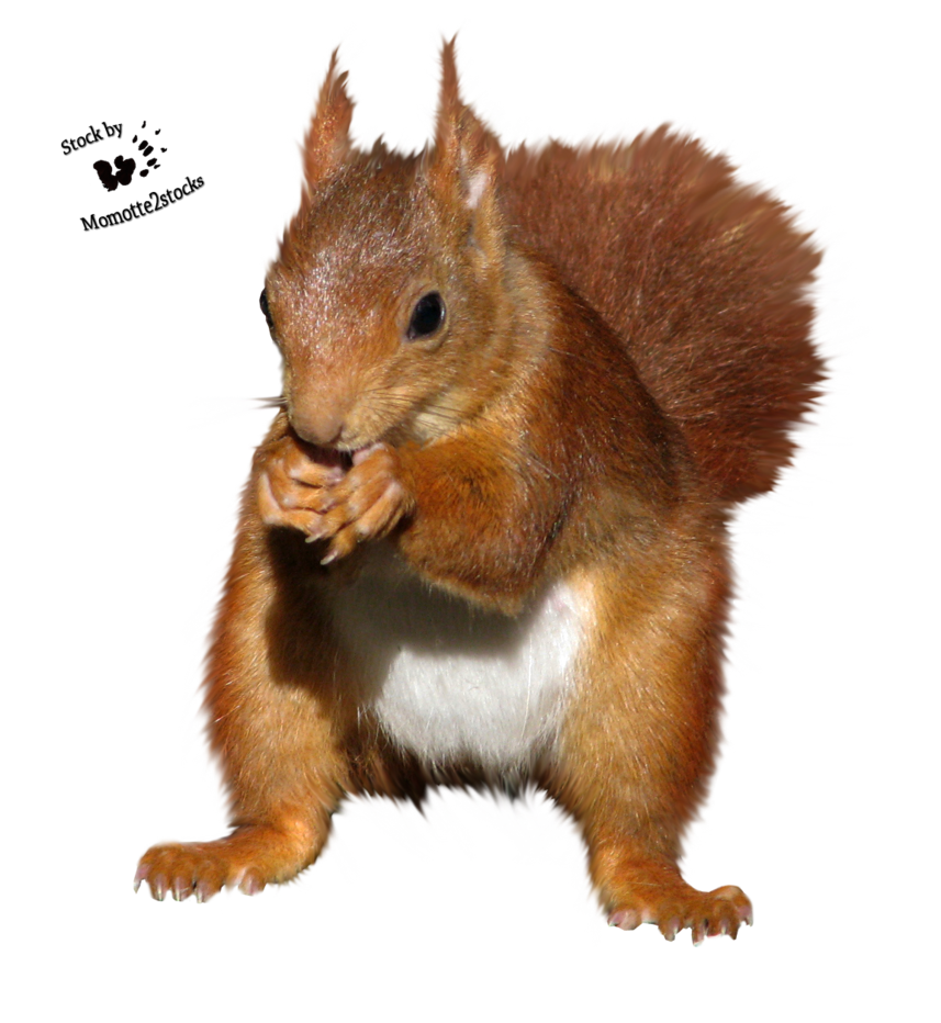 download squirrel png transparent images images #37006