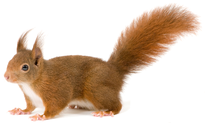 download squirrel png transparent images transparent #37003