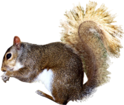 psd detail squirrel official psds #36983