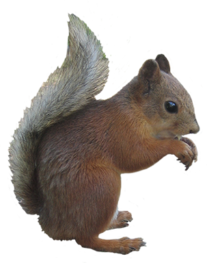 squirrel animal clip art #36946