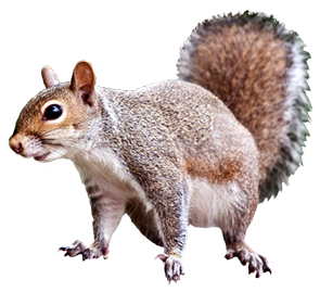 squirrel animal clip art #36951