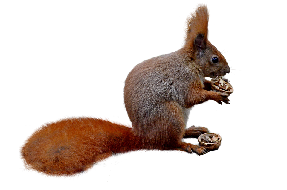 squirrel isolated nature photo pixabay #36970