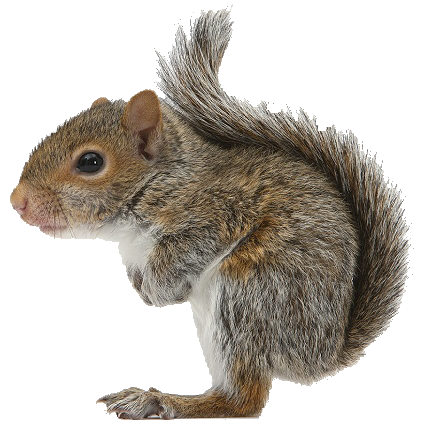 squirrel pin kentucky lady nutcrackers cute animals #36933
