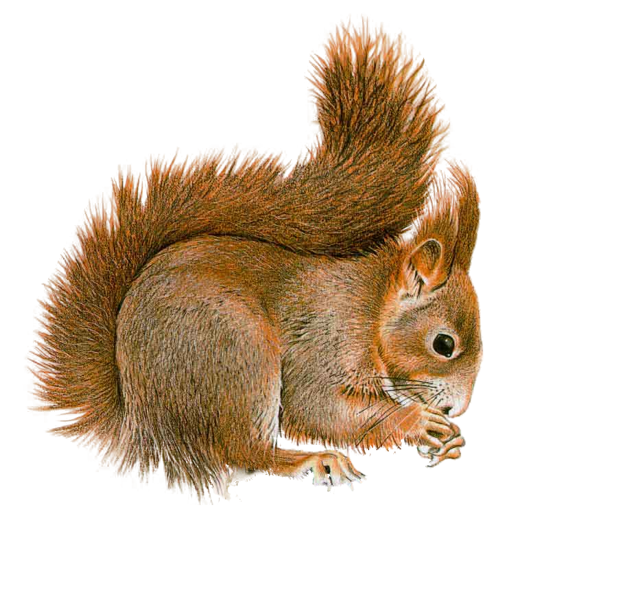 squirrel png design deviantart #36936