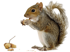 squirrel png png images pngio #36998