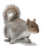 squirrel png transparent images #36974