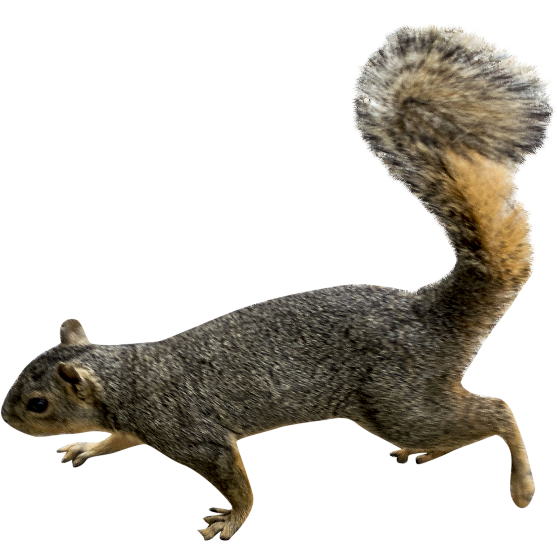 squirrel png transparent images #37004