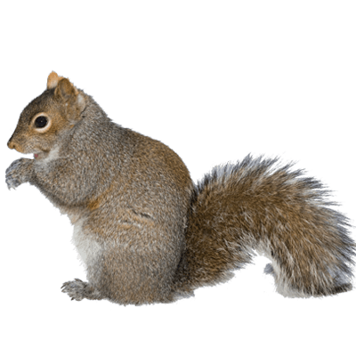 squirrel removal mississauga squirrel control solutions #36940