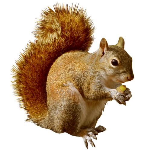 squirrel wildlife removal services indianapolis admiral #36937