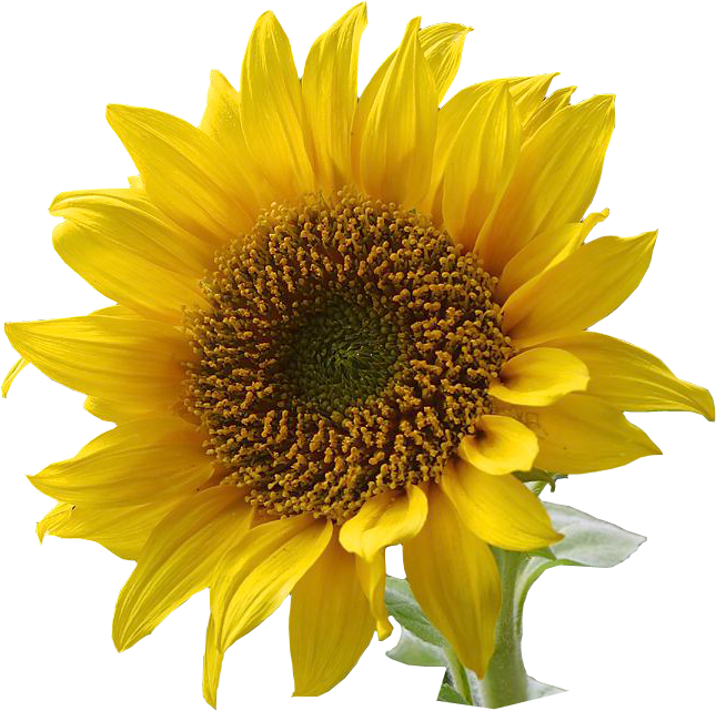 sunflower graphics png #17171