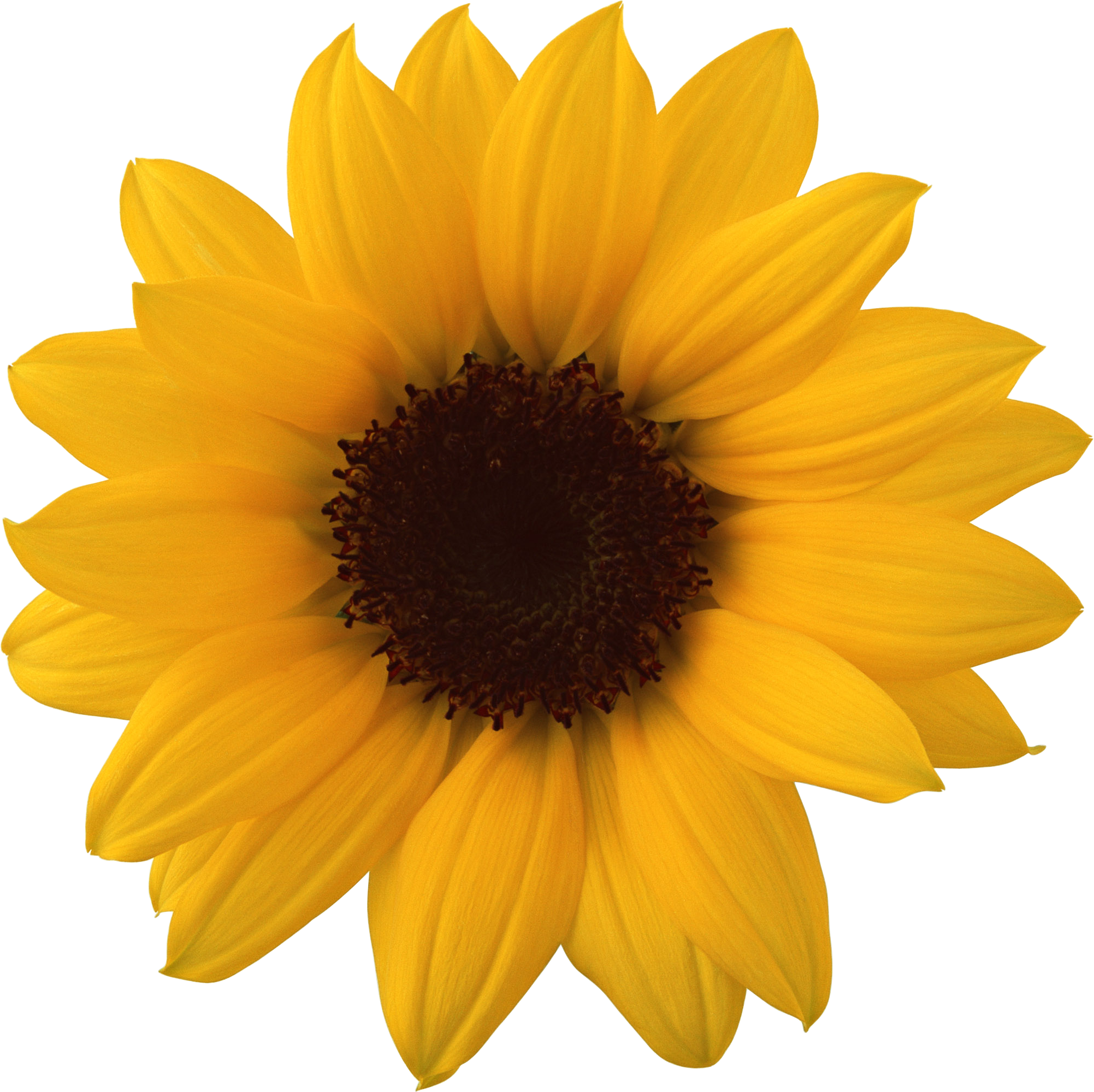 sunflower png high resolution web icons png #17201