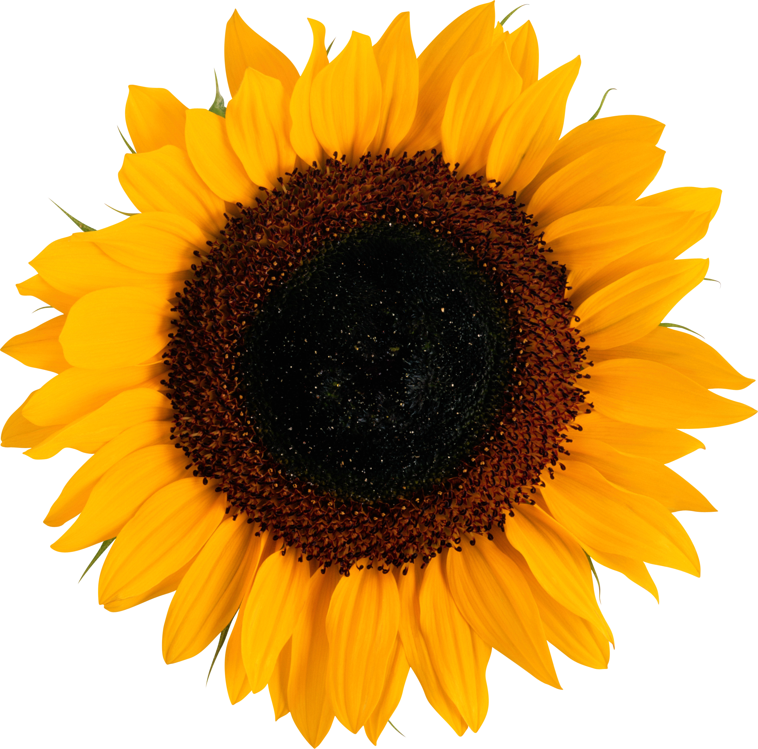 sunflower png icon web icons png #17176