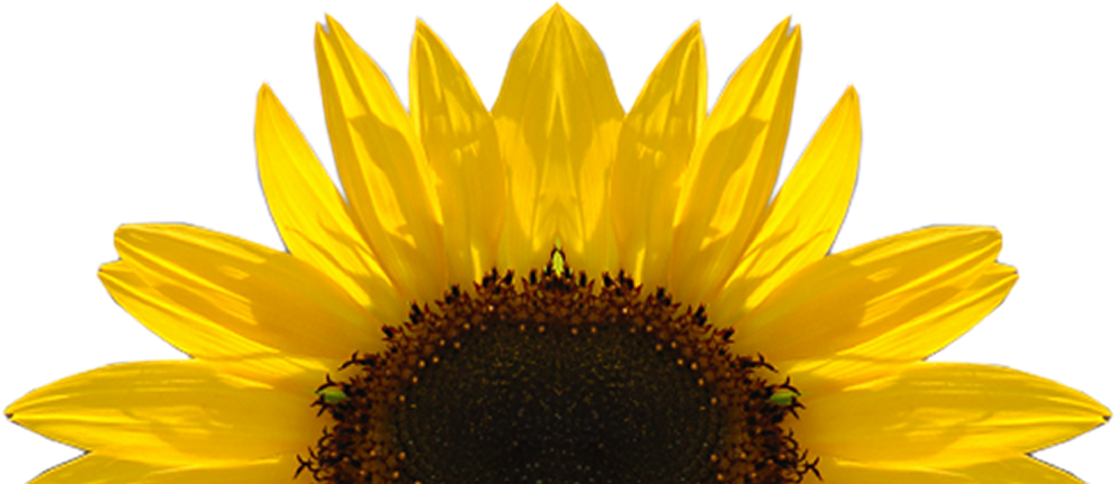 sunflower transparent png pictures icons and png #17252