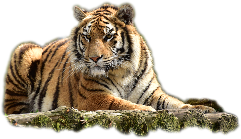 bengaltiger tiger big cat photo pixabay 14752