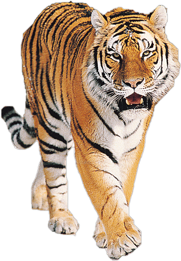 download tiger png image download tigers png image #14710