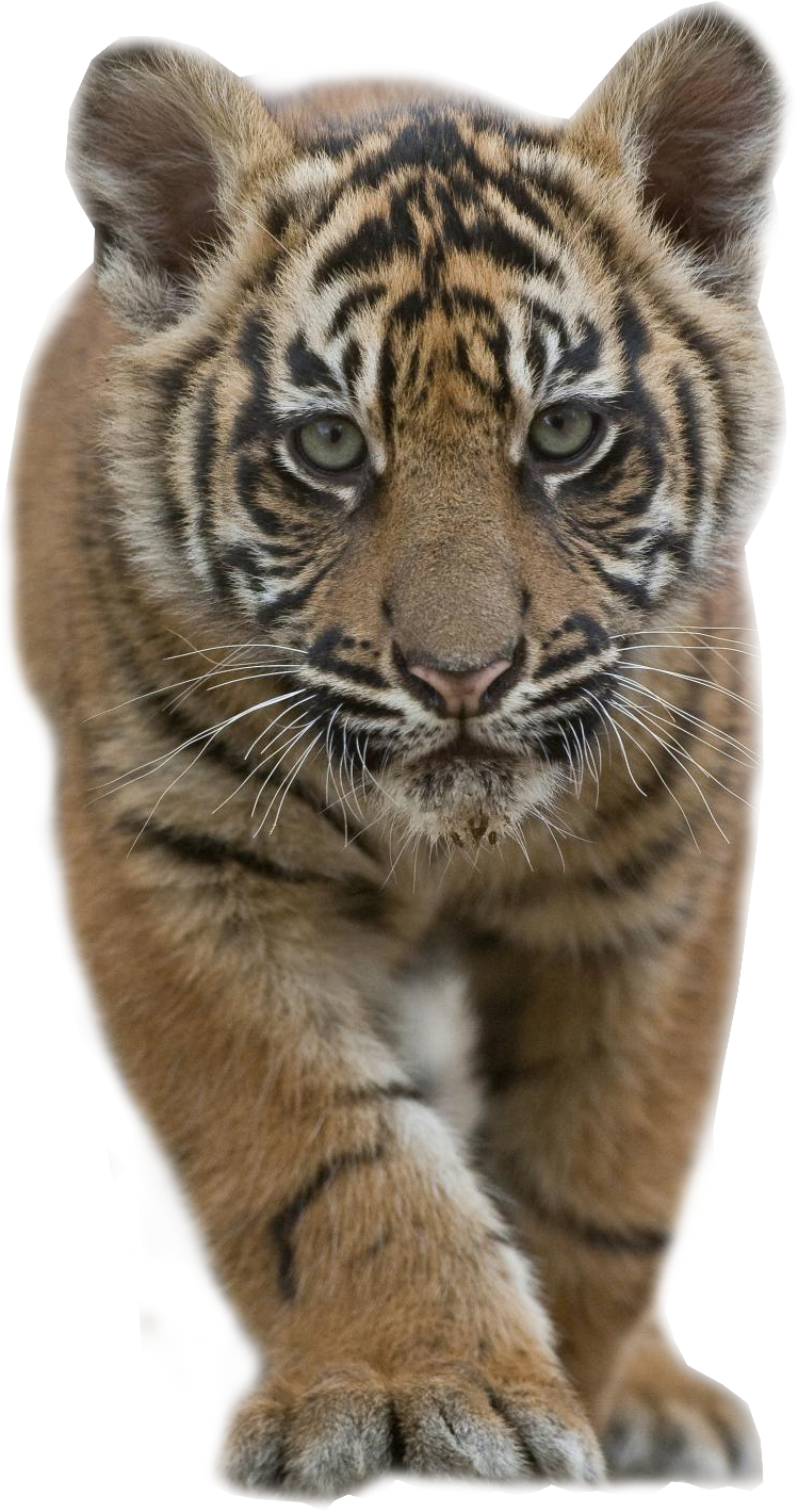 tiger cub stalking transparent image 14757
