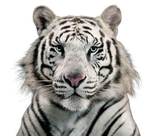 tiger face png 14758