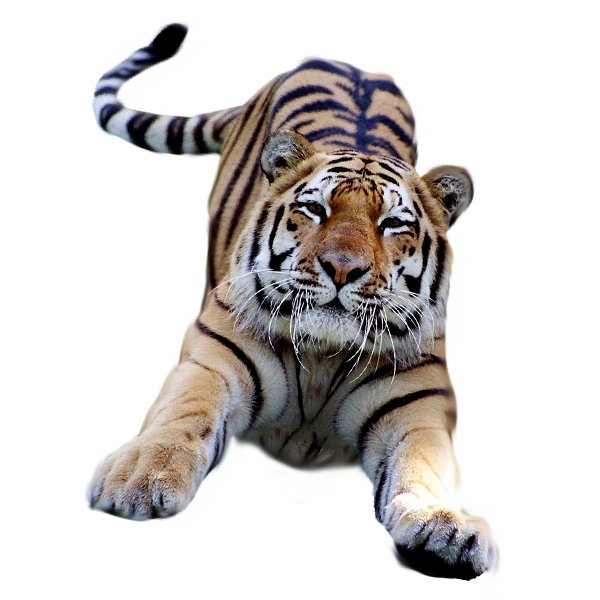 tiger head transparent tumblr 14760