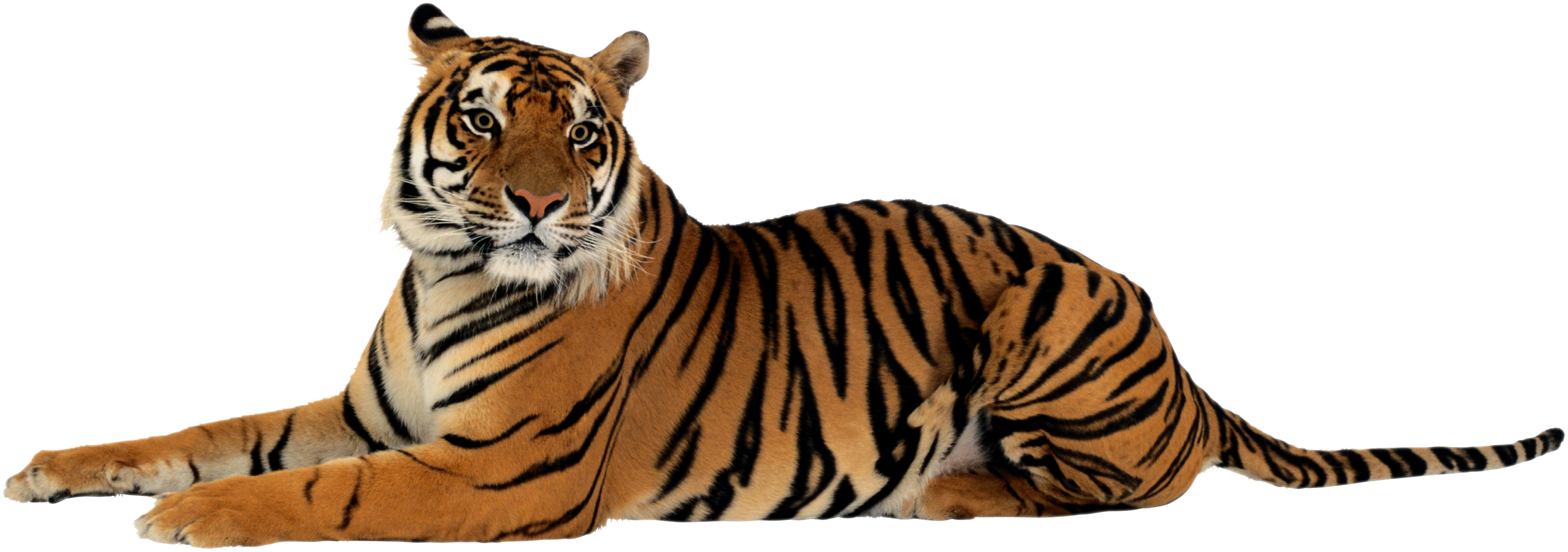 tiger png images the deadly asian cat png only #14722