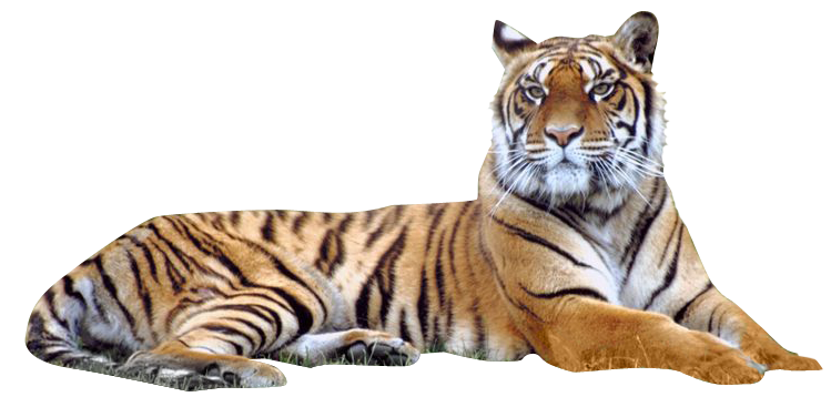 tiger png images the deadly asian cat png only
