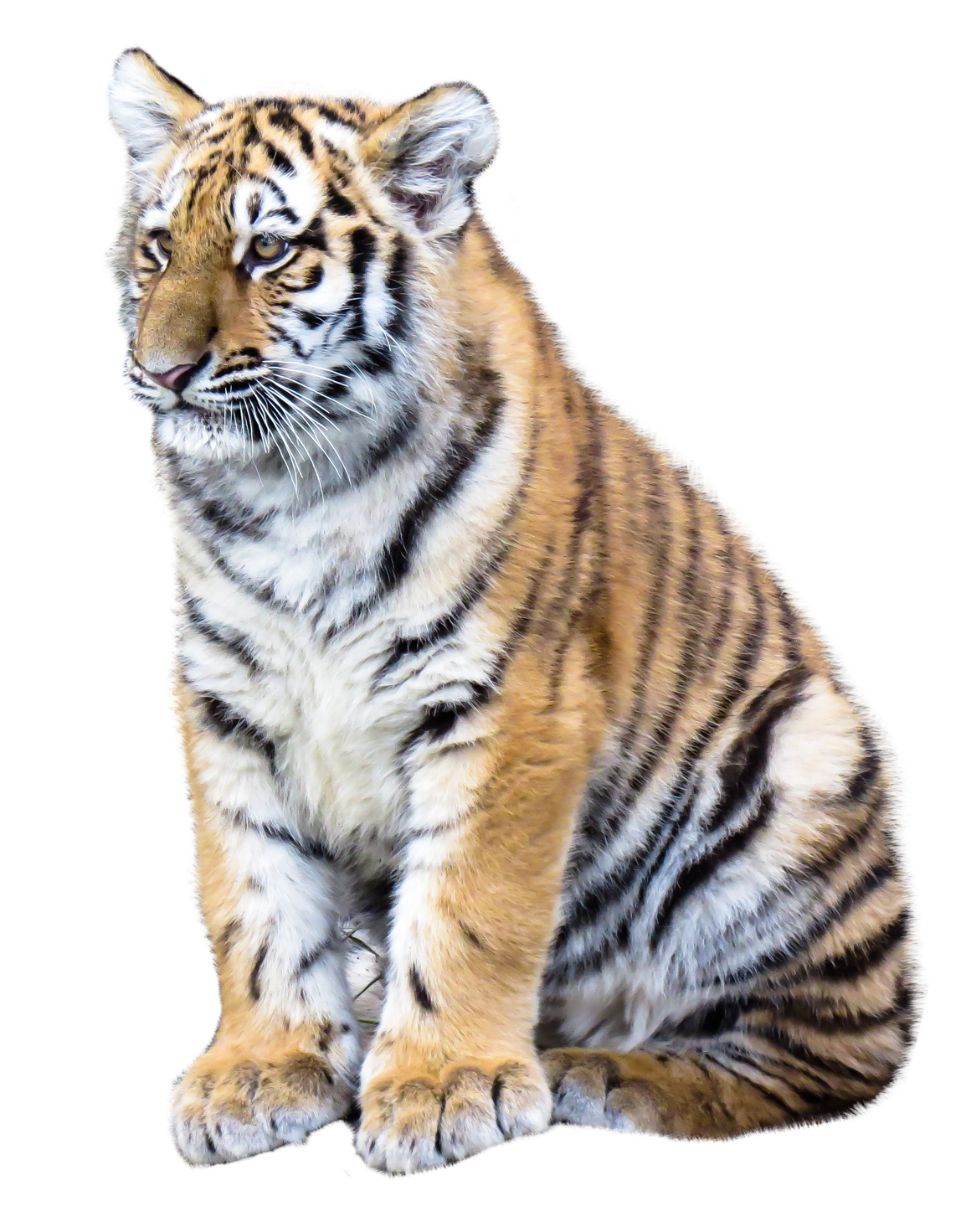 tiger png transparent image pngpix